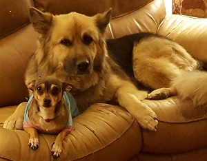 german shepherd dog and chihuahua